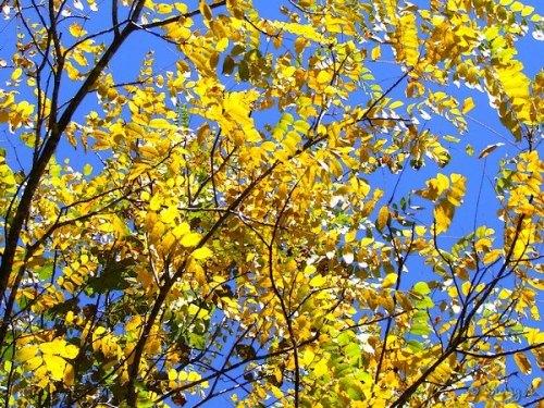 yellow foliage of black walnut