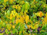 spicebush leaves