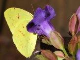sulphur at torenia flower