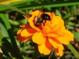 bees at marigold flower