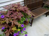 sweet potato vine and purple waves in a container