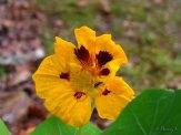 nasturtium still blooming