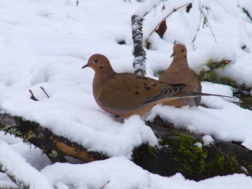two doves in the snow