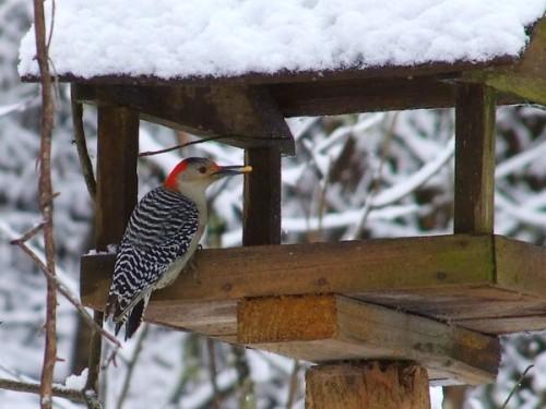 Red-bellied Woodpecker in the feeder