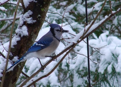 a blue jay in the trees near the bird feeders