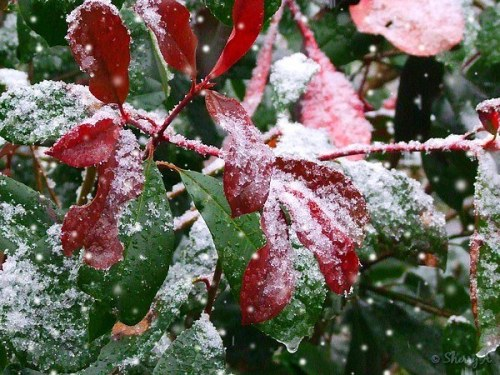 snow on redtip shrub
