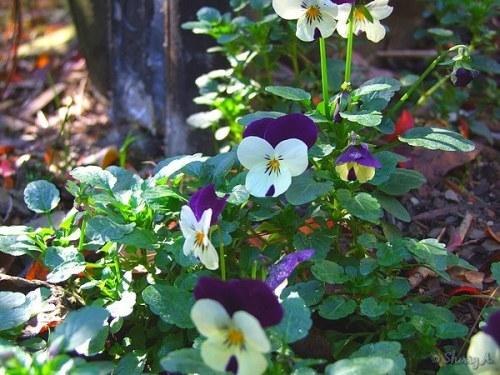 violas blooming