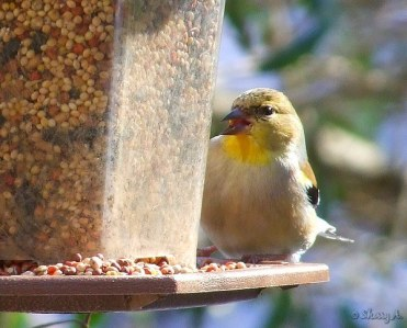 goldfinch at the feeder