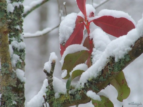 snow covered leaves and branches