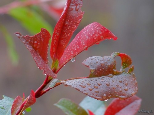 raindrops on redtip