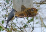 titmouse and wren