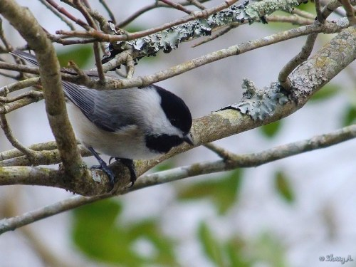 Chickadee in dogwood tree
