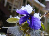 viola covered with snowflakes