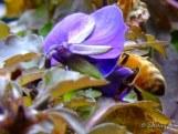 honeybee in a viola