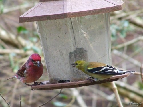 Purple and Goldfinch
