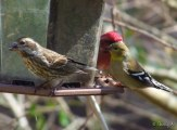 female and male with a goldfinch