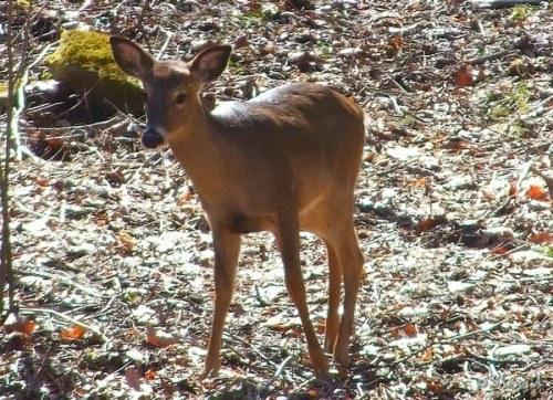 deer at edge of yard