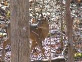 larger deer