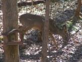 deer near the squirrel feeder