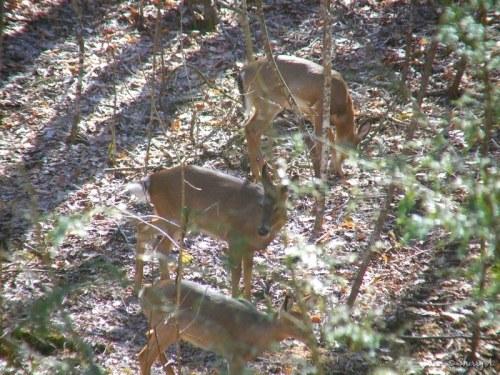 three deer