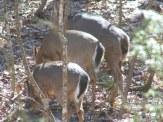 deer butts