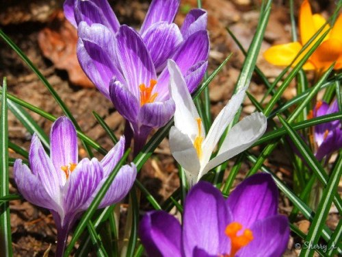 crocuses in bloom
