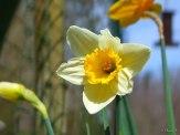 daffodils in fence border