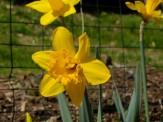 yellow daffs along fence