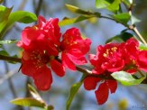 common flowering quince