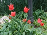 red tulips and bishop's weed in front border