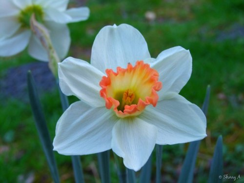 """pink"" daffodils"