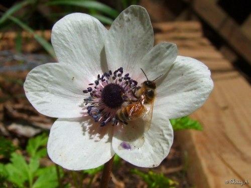 anemone and honeybee