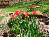 darwin hybrids in spring bulb bed