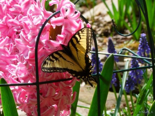 swallowtail on hyacinth