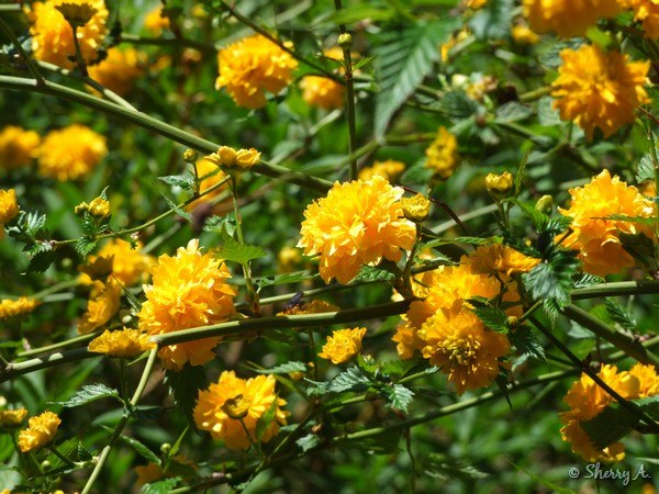 Kerria japonica sherry 39 s place for Kerria japonica