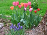 tulips and muscari, hydrangea behind