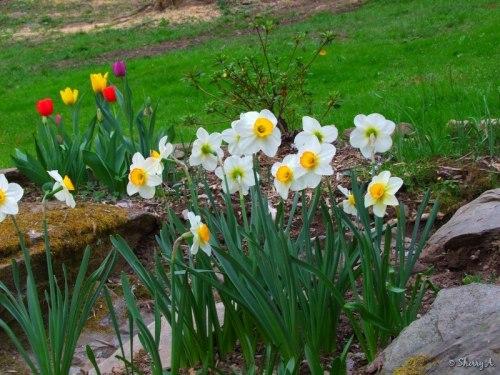 daffodils, tulip, allium