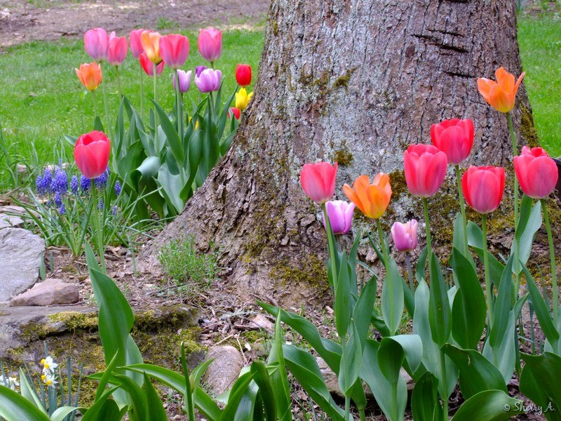 Planting flowers around trees roots : Spring bulb flower bed sherry s place