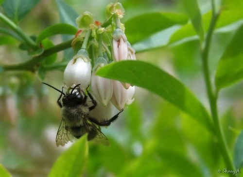 bimblebee on blueberry flowers