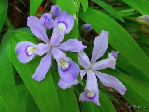 wild dwarf iris