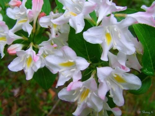 white pink and yellow weigela shrub