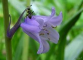 black ant on bluebell