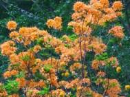 Flame Azalea in bloom