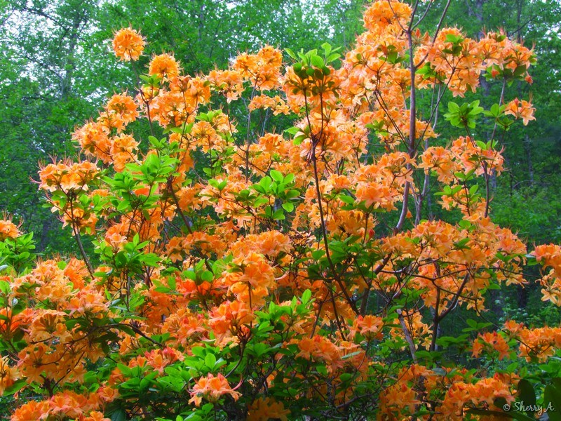 Flame Azaleas Blooming Sherry S Place