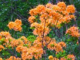 flame azalea flowers