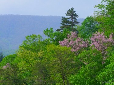 Princess Trees blooming in the mtns