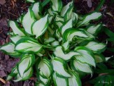 Hosta unknown Variegated type
