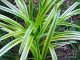 variegated liriope