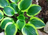 Hosta Frances Williams (?)