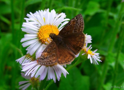 Horace's Duskywing Butterfly and Fleabane